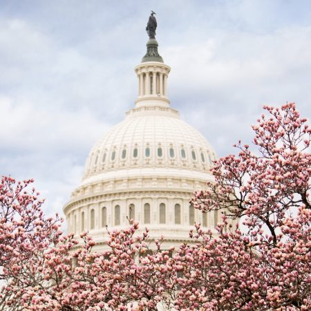 Pink cherry blossoms in full bloom in front of the United States capitol building in Washington, DC